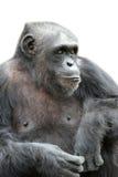 Ein Gorilla, der auf dem weißen Hintergrund, lokalisiert sitzt Lizenzfreie Stockfotografie
