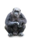 Ein Gorilla, der auf dem weißen Hintergrund, lokalisiert sitzt Stockbild