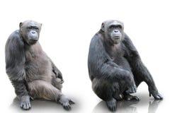 Ein Gorilla, der auf dem weißen Hintergrund, lokalisiert sitzt Stockfotografie