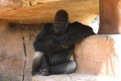 Gorilla, der vorwärts gegenüberstellt und im Schatten stillsteht Stockfotografie