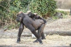 Ein Gorilla, der ein Baby trägt Stockfotos