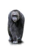 Ein Gorilla geht auf alle vier, lokalisiert Stockbilder