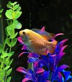 Ein Gourami-Fisch Lizenzfreie Stockfotografie