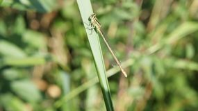Ein Grün und eine schwarze Libelle auf einem Stamm des Grases stockfotografie