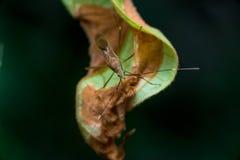 Ein Grün, braune Meuchelmörderwanzen lizenzfreie stockfotos