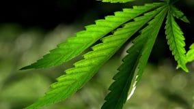 Ein Grün, großes Blatt des Hanfs Das hintergrundbeleuchtete, helle Hanfblätter glättend