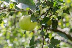 Ein grüner Apfel auf einer Niederlassung eines Baums lizenzfreies stockbild