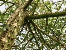 Ein grüner Baum, eine chorizion Anlage mit Niederlassungen, mit Scharfem, den großen, gefährlichen, konvexen, schrecklichen, natü lizenzfreies stockfoto