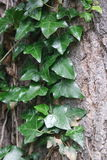 Ein grüner Efeu Lizenzfreie Stockbilder