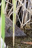 Ein grüner Frosch, Rana-clamitans auf einem Schnittbaumstamm im Wasser Dragoman natürlichen Karst Sumpfes, dorsale Ansicht lizenzfreie stockfotos