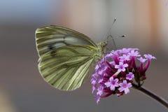 Ein grüner geäderter Schmetterling auf purpurroter Blume Lizenzfreie Stockfotos