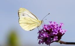 Ein grüner geäderter Schmetterling auf purpurroter Blume Stockbilder