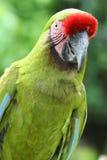 Ein grüner Macaw Stockfotografie