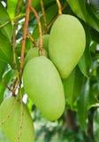 Ein grüner Mangobaum lizenzfreie stockfotografie