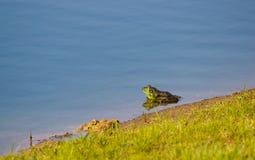 Ein grüner Ochsenfrosch Lizenzfreie Stockfotografie