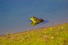 Ein grüner Ochsenfrosch Stockfotografie