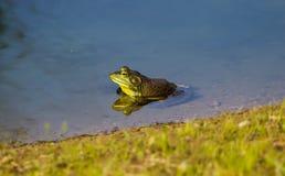 Ein grüner Ochsenfrosch reflektiert in einem Teich Stockbilder