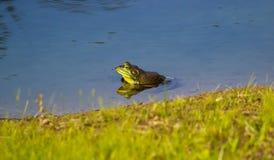 Ein grüner Ochsenfrosch reflektiert in einem Teich Lizenzfreie Stockfotos