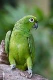 Ein grüner Papagei stockfotografie