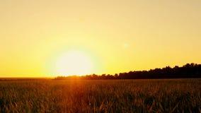 Ein grüner Rasen im Park auf einem Sonnenunterganghintergrund stock footage