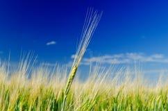 Ein grüner Weizen auf Feld Stockbilder