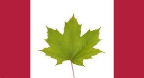 Ein grünes Ahornblatt auf kanadischer Flagge Stockbild