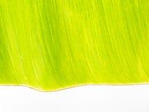 Ein grünes Bananenblatt Stockfotos