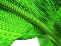 Ein grünes Blatt Stockbilder