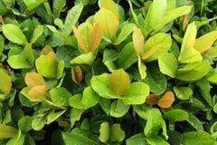 Ein grünes Blatt. Lizenzfreie Stockfotografie