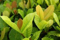 Ein grünes Blatt. Stockbild