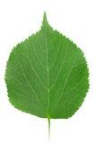 Ein grünes Blatt Lindenbaum Lizenzfreies Stockfoto