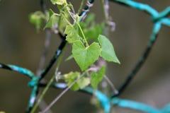 Ein grünes Blatt mit Liebesform auf einem grünen Zaun Lizenzfreies Stockbild