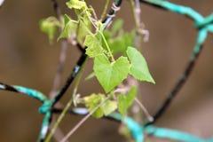 Ein grünes Blatt mit Liebesform auf einem grünen Zaun Lizenzfreies Stockfoto