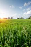 Ein grünes Feld des wachsenden Reises stockfoto