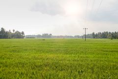 Ein grünes Feld des wachsenden Reises stockfotos