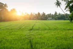Ein grünes Feld des wachsenden Reises lizenzfreies stockfoto