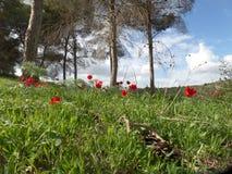 Ein grünes Feld mit roten Anemonen, unter den Bäumen Lizenzfreie Stockfotografie