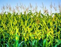 Ein grünes Feld von Mais aufwachsend Stockbilder