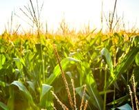 Ein grünes Feld von Mais aufwachsend Stockfoto