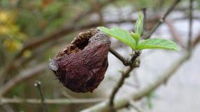 Ein Granatapfel, der heraus durch Insekten ausgeh?hlt worden ist lizenzfreie stockfotografie
