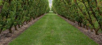 Ein grasartiger Weg zwischen Aprikosenbäumen in einer V-Form in einem Obstgarten in Cromwell in Neuseeland stockfoto
