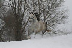 Ein grauer Hengst in den Trab eines Halter durch den Schnee im bewölkten Winterwetter lizenzfreie stockfotos