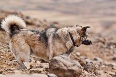 Ein grauer Hund auf einem strole. Lizenzfreie Stockfotografie