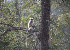 Ein grauer Langur, der auf einem Baum sitzt Lizenzfreies Stockfoto