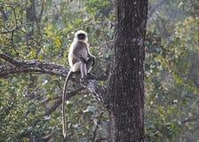 Ein grauer Langur, der auf einem Baum sitzt Stockfotografie