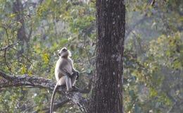 Ein grauer Langur, der auf einem Baum sitzt und oben schaut stockfoto