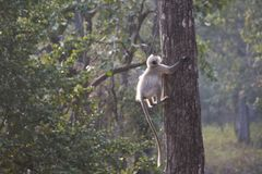 Ein grauer Langur, der einen Baum klettert lizenzfreie stockfotografie