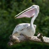 Ein grauer Pelikan, der auf einer Niederlassung sitzt Stockfoto