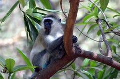 Ein grauer und schwarzer farbiger Affe Stockbilder