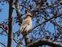Ein grauer Vogel mit einem Büschel auf seinem Kopf sitzt auf einer Niederlassung eines Apfelbaums waxwing stockbild